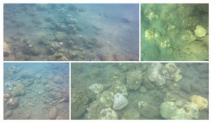 VSU corals after collage