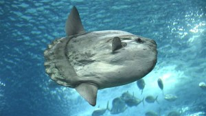 Warm-water species, like cobia and ocean sunfish (pictured), have recently been spotted in northern latitudes.
