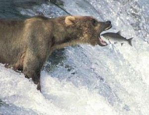 grizzly_bear_and_salmon