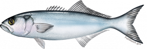 Bluefish illustration courtesy of fishwatch.gov